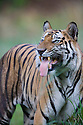 Dominant male Bengal tiger (Panthera tigris) showing flemen behavior,  close-up, dry season, April
