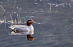 A duck swims on a lake in Yellowstone National Park.