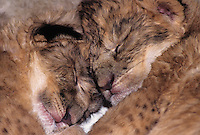 656259211 a pair of two day old captive wildlife rescue african lion cubs panthera leo sleep together soundly species is native to the african continent