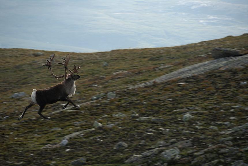 Wild reindeer,Norway