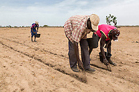 Millet Cultivation.  Spreading Compost Fertilizer by Hand, the old, back-bending, labor-intensive way.  Kaolack, Senegal.