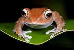Madagascar Bright-eyed Frog, Boophis madagascariensis, Nr Mantadia National Park, Andasibe, Madagascar, Least Concern on the IUCN Red List, Mantellidae family endemic