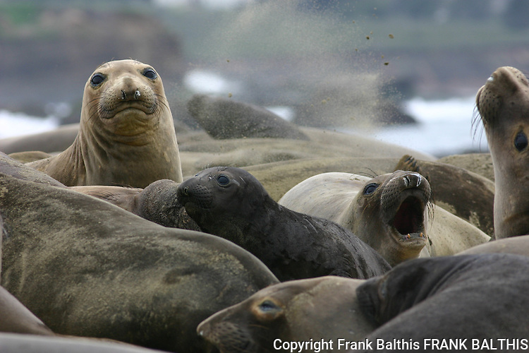 Females and pups, northern elephant seals