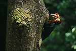 A male Walden's hornbill (Aceros waldeni) delivers food to its nest.