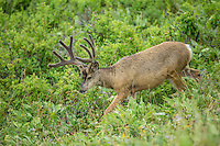 Mule deer buck in summer with antlers in velvet