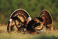Wild Turkey, Meleagris gallopavo,males displaying, Lake Corpus Christi, Texas, USA, April 2003