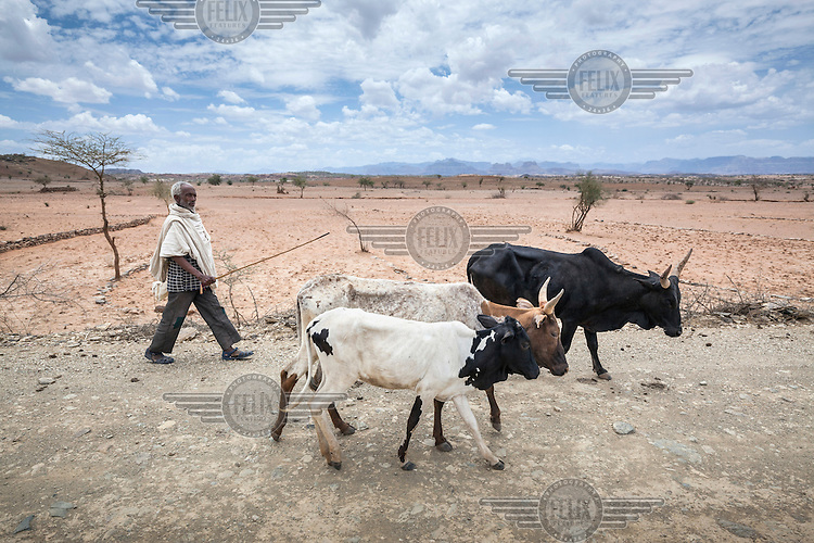 A farmer walks his cattle to market. Due to a drought the animals are likely to die if they are kept any longer and so selling them is a better option. Ethiopia is experiencing its worst drought in over 50 years. The emergency started early in 2015 with the failure of the February-April 'Belg' rains and was further compounded by the main 'Kiremt' rain season (July-September) being erratic and poor, caused by an exceptional El Nino event.