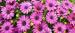 Coronado, San Diego, California; a panoramic view of a bed of pink and purple African Daisy flowers in the spring