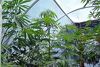 Young marijuana plants used for medicinal purposes growing in a greenhouse.