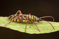 Locust Borer Beetle (Megacyllene robiniae),  Ward Pound Ridge Reservation, Cross River, Westchester County, New York