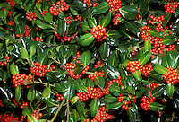 Holly tree with green foliage and red berries glazed in ice after ice storm.