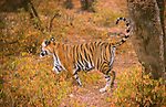 Asia, India, Ranthambore. Tiger scent marking a tree.