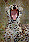 Leopard, Okavango Delta, Botswana