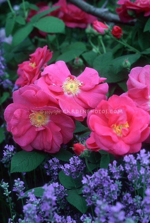 Rosa gallica var. officinalis (Apothecary Rose) with Lavender Munstead (Lavandula angustifolia Munstead)