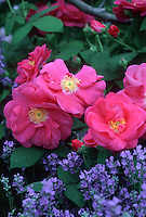 Rosa gallica var. officinalis (Apothecary Rose) with Lavender Munstead (Lavandula angustifolia Munstead)