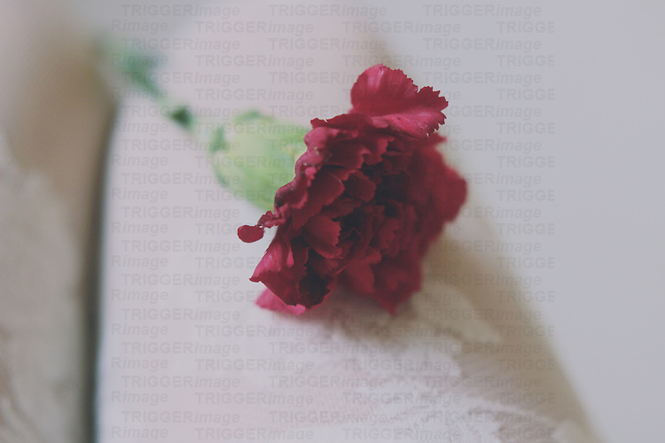close up shot of a carnation flower over a girl's leg