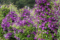 Clematis from left to right 'Polish Spirit', 'Polish Spirit', 'Etoile Violette', purple easy prune vines, easy growing climbers