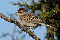 A crisp, pretty sparrow whose bright rufous cap both provides a splash of color and makes adults fairly easy to identify.