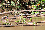 Yellow-spotted River Turtles, Tiputini