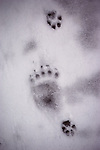 Following well-worn pathes, wolf and grizzly tracks are recorded in freshly fallen snow.