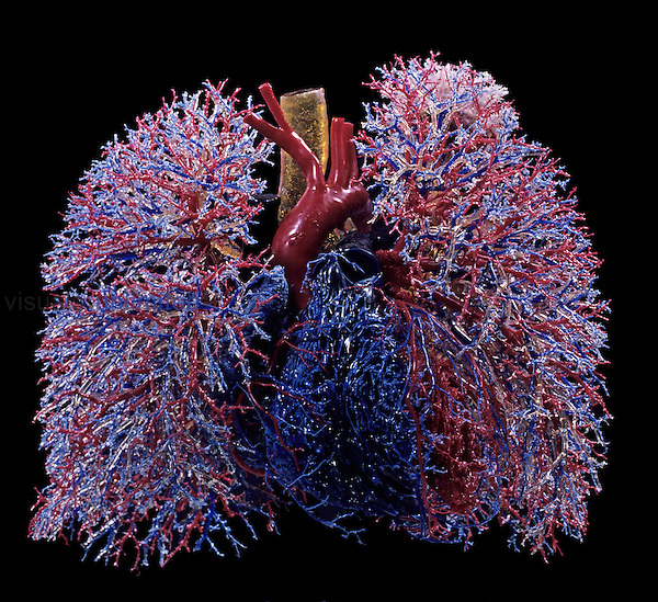 Resin cast of human lungs, heart, blood vessels, and air passages, anterior view.