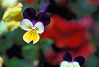 Purple, Yellow, Pansies, Flowers, Close up, Love, bloom, blooming, blooms, blossom, colorful, flora, flower, flowering, flowers, nature, Garden, USA