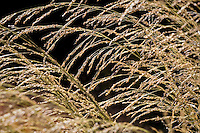 Panicum virgatum 'Dallas'Blues' switchgrass, pendulous seed head, ornamental grass, backlit