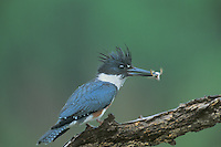 554710003 a wild female belted kingfisher ceryle alcyon sits on a dead tree limb with a rio grande leopard frog rana berlandieri in its beak in the rio grande valley of south texas