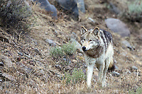 Grey Wolf  of the Lamar Pack in Yellowstone National Park