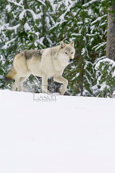 Wild Yellowstone Gray Wolf (Canis lupus).  Yellowstone National Park.  This is an alpha female.