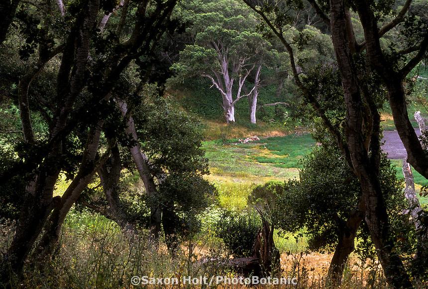 Quercus agrifolia (Coast Live Oak tree) at woodland edge, habitat