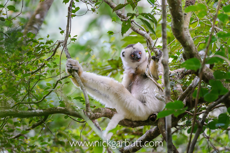 Silky Sifaka (Propithecus candidus). Marojejy National Park, north ...: nickgarbutt.photoshelter.com/image/I0000jfHd4SZxmrA