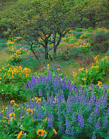 Columbia Gorge National Scenic Area, OR<br /> Lupine and balsam root blooming in an open forested hillside with Oregon oak on the Rowena Plateau