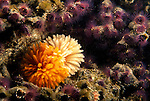 Santa Cruz Island, Channel Islands, California; Giant Feather Duster (Eudistylia polymorpha) amongst Colonial Sand-Tube Worms (Phragmatopoma californica) , Copyright © Matthew Meier, matthewmeierphoto.com All Rights Reserved