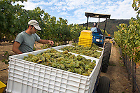The vineyard maager inspects the SAUVIGNON BLANC grape harvest at JOULLIAN VINEYARDS - CARMEL VALLEY, CALIFORNIA MR