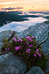Spring vista with blooming Carolina rhododendron, Hawksbill Mountain Summit