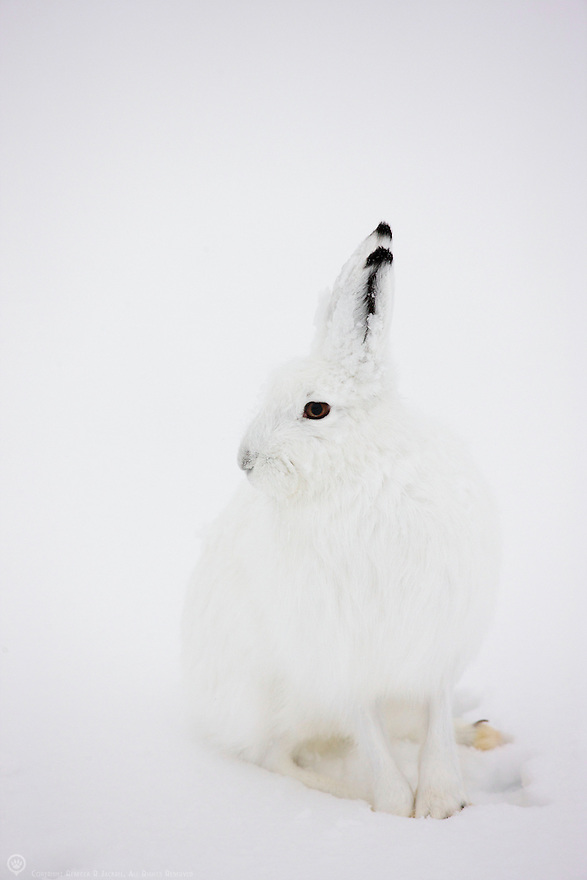 Arctic Hare camouflaged in the snow