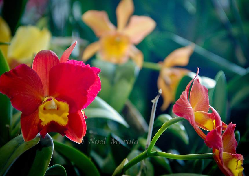 Exotic orchid collections featuring new hybrids, rare specimens,variegated combinations, unusual colorations of orchid flowers.