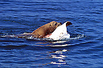 Sea Lion Eating Sting Ray