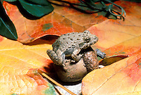 Fall scene among the smallest creatures, Cricket frog balances on oak acorn among maple leaves