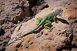 Collared Lizard, De-Na-Zin Wilderness, New Mexico.  Available in sizes up to 30 x 45 inches.