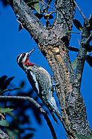 Red-naped Sapsucker, Sphyrapicus nuchalis, male at sap well, Madera Canyon, Arizona, USA, January 1995