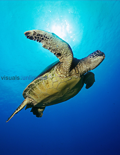 Green Sea Turtle, (Chelonia mydas), Kona, Big Island, Hawaii, Pacific Ocean.