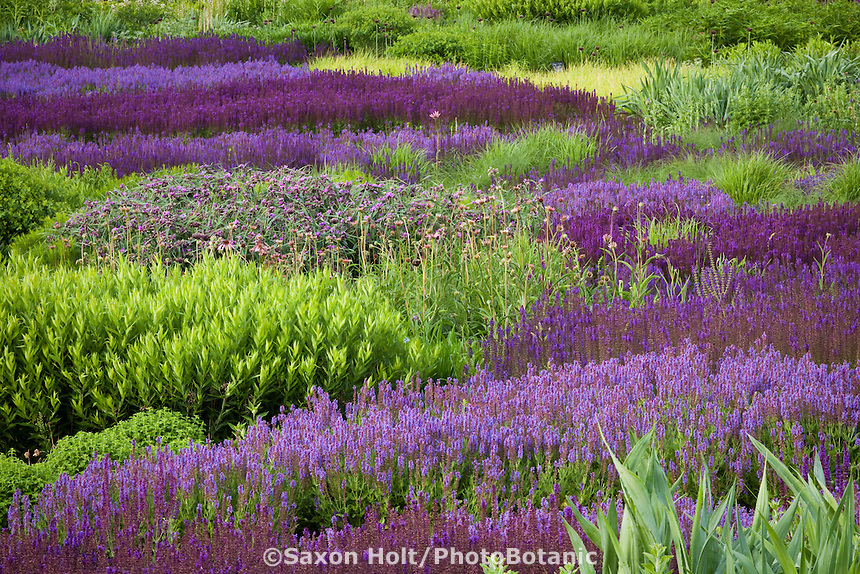 River of Meadow Sage, Salvia x sylvestris 'Blue Hill', 'Wesuwe', 'May Night' and 'Rugen' flowering perennials in Lurie Garden Millenium Park, Chicago with spiderwort, blue star and grasses