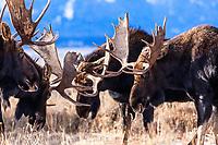 Bull moose herd fighting in Grand Teton National Park, Jackson Hole, Wyoming