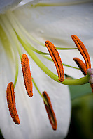 Lily, Lilium 'Casablanca' with copper red anthers