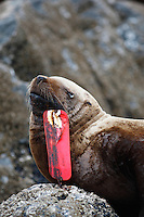 pu50905-D. Steller Sea Lion (Eumetopias jubatus), suffering because of large fishing lure hooked in its lip. Alaska, USA, Pacific Ocean..Photo Copyright © Brandon Cole. All rights reserved worldwide.  www.brandoncole.com..This photo is NOT free. It is NOT in the public domain. This photo is a Copyrighted Work, registered with the US Copyright Office. .Rights to reproduction of photograph granted only upon payment in full of agreed upon licensing fee. Any use of this photo prior to such payment is an infringement of copyright and punishable by fines up to  $150,000 USD...Brandon Cole.MARINE PHOTOGRAPHY.http://www.brandoncole.com.email: brandoncole@msn.com.4917 N. Boeing Rd..Spokane Valley, WA  99206  USA.tel: 509-535-3489