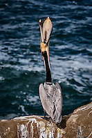 A Brown Pelican at La Jolla Cove near San Diego, California engages in a behavior known as head tossing which is actually a stretching of the gular pouch to keep it healthy.