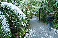 Franz Josef Glacier  bush walk after fresh snowfall, Westland National Park, West Coast, World Heritage Area, New Zealand