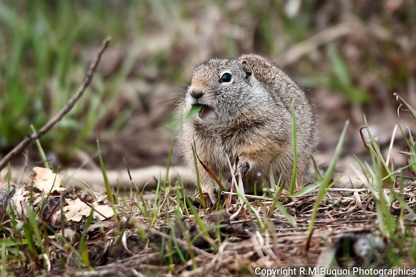 Uinta Ground Squirrel chewing on grass.